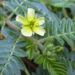 Tribulus Terrestris Review: Is it Effective?
