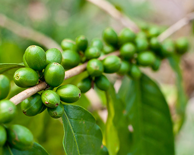 Premium Green Coffee Bean - Ingredients