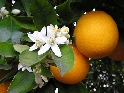 Seville Orange Flower