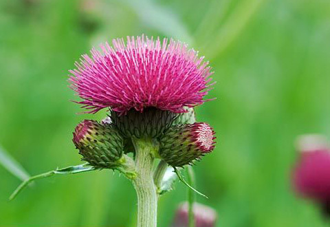 Japanese thistle extract