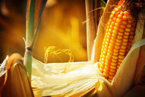 Is Corn Good for Us or Not? The Top Myths About Corn Busted